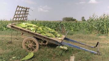 Farmer walking through field to unload basket filled with more tobacco leaves in the cart