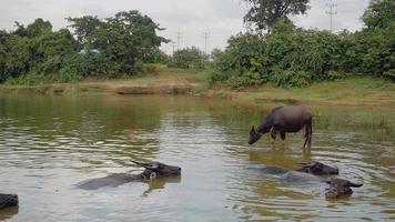 water buffaloes in water during bath time
