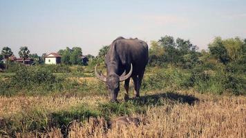 Búfalo pastando en un campo y ternero estirado en primer plano