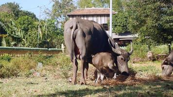 Ternero de búfalo de agua amamantando a su madre en un campo