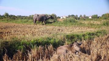 Búfalo atado con pastoreo en un campo y ternera estirada en primer plano
