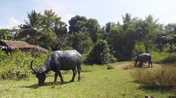 Herd of water buffaloes grazing in a field after a mud bath