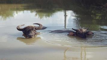 Close up of a water buffalo with his calf in the pond during bath time