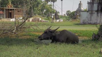 Water buffalo lying down in puddle of muddy water near a stupa area and ruminating