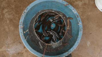 bacias de enguias vivas para venda no mercado local