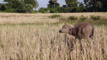 Back view of a buffalo calf eating straw in the field