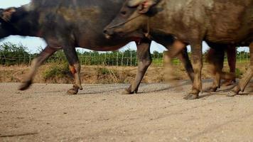 Búfalos de agua caminando por un sendero rural