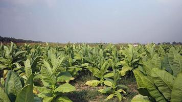 Wind blowing over tobacco plants