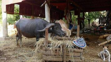 Water buffaloes eating hay from the feeder under a stilt-house video
