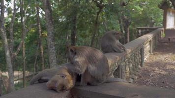 monkey grooming another one sitting on a stone railing