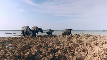 Herd of water buffaloes getting out of the river