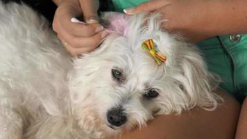 Woman Pet Owner Cleaning Ear To Dog With Cotton Wool video