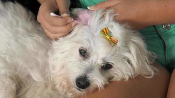dona de animal de estimação limpando a orelha do cachorro com algodão video