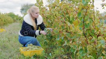 giovane donna che lavora nella vigna. tagli con le forbici uva