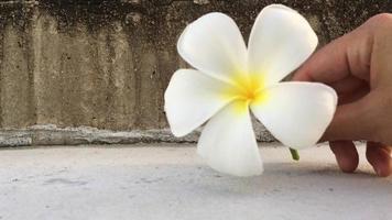 Main de femme mettre plumeria blanc, fleur tropicale de frangipanier sur le terrain