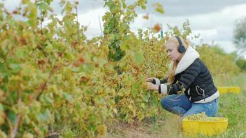 Jeune femme séduisante avec des ciseaux coupe les vignes, écoutant de la musique au casque