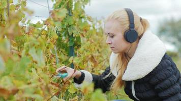 Porträt einer jungen Frau, die im Weinberg arbeitet und Musik über Kopfhörer hört. schneidet mit einer Schere Trauben reifer Trauben