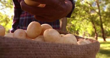 mão segurando uma batata fresca e saudável recentemente colhida