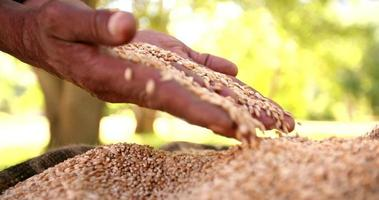 mani che sentono il chicco di grano nel sacchetto di tela da imballaggio