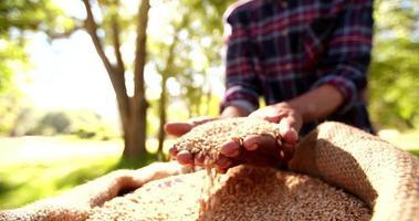 di nuovo chicchi di grano tenuti dalle mani del contadino