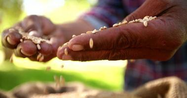 contadino che tiene il chicco di grano in mano, rallentatore che cade