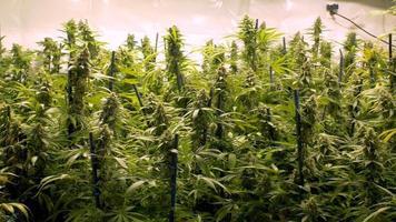 panoramica su grandi gemme di marijuana sulle piante del giardino interno