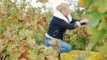 giovane donna raccoglie la vendemmia. vigneto uva bianca video