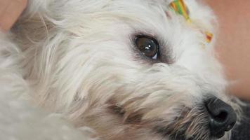 proprietario di un cane donna cerca pulci zecche e parassiti sull'animale domestico video