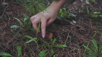 mano de mujer encuentra un pequeño hongo en el bosque