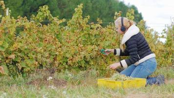 junge Frau mit Kopfhörern, die im Weinberg laufen. schneidet reife weiße Weintrauben und hört Musik