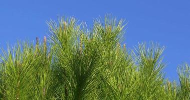 ciudad de tarragona hermoso pino verde cerca de 4k