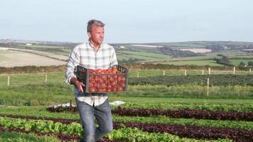 Landwirt mit Bio-Tomatenernte auf Bauernhof erschossen auf roter Kamera video