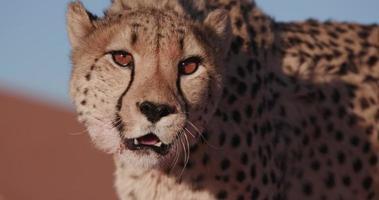 Ritratto del primo piano 4K del ghepardo