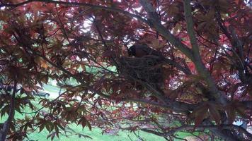 robin sentado en el nido
