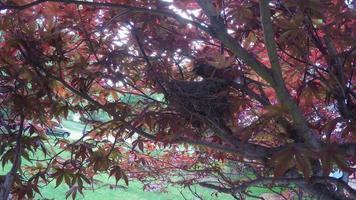 petirrojo mirando en el nido y luego sentado en el siguiente