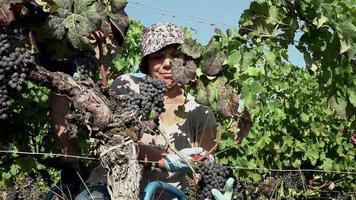 recolección de uvas una a una con una tijera de podar video