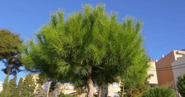 Tarragona city beautiful green pine close up 4k