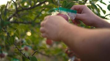 Close up on the hands of people taking plastic bags off of apples on a tree video