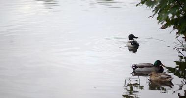 groupe de canards sur l'eau