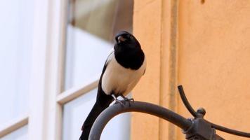 Cuervo blanco y negro, pájaro salvaje en ciudad urbana. video