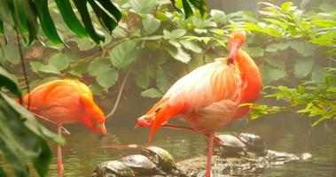 Flamingos in Jungle Stream, Wide Shot