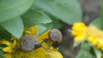 caracol consome flor video