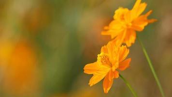 flores cosmos naranja temblando con el viento video