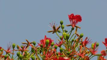 as flores da árvore das chamas sob o céu azul
