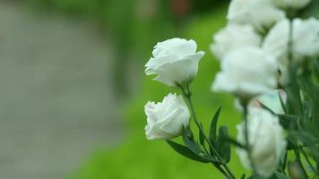 rosas blancas temblando con el viento