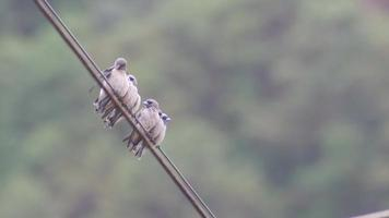 Gruppe von aschigen Waldschwalbenvögeln reinigen ihre Flügel video