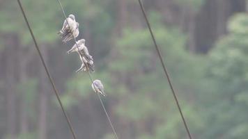 Gruppe von aschigen Waldschwalbenvögeln auf elektrischem Draht video
