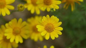 vista dall'alto dei fiori della margherita di Dahlberg che agitano con il vento video