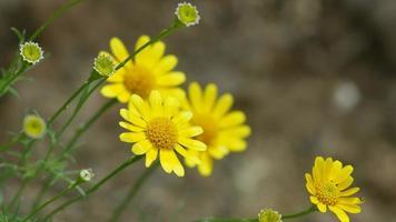 Dahlberg margherita fiori tremanti con il vento video