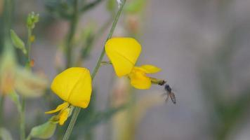 abelhas coletam néctar da flor crotalária video